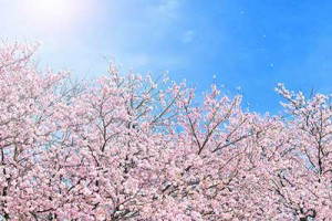 xcherry-blossom_00009_jpg_pagespeed_ic_OPfabFUJyI