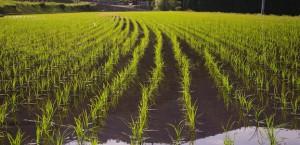rice-828540_640